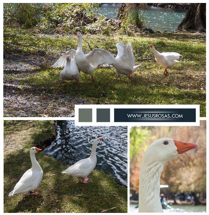 Embden geese, gansos, goose. Lago de Camécuaro.
