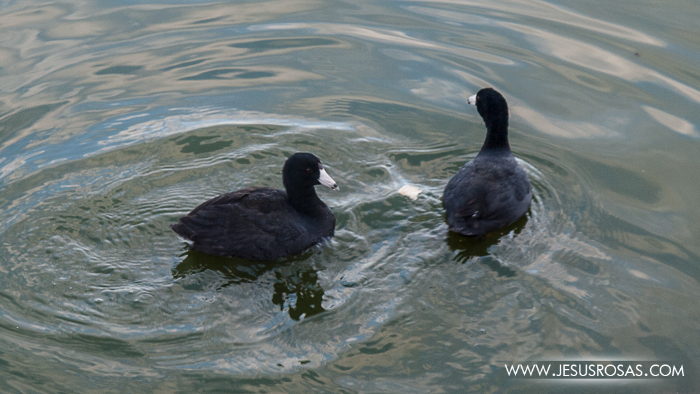 Entre los habitantes y visitantes de la Laguna de Cajititlán estaban estas aves que no supe identificar. Después averigué que su nombre científico es Fulica americana y algunos los llaman gallareta, choca o hayno.