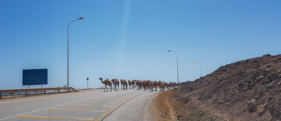 Occasionally, when traveling between agricultural villages in Mexico, you may find a group of cows horses, and dogs crossing the road. But finding a caravan of camels? Ehem, dromedaries... that's unlikely. But this is not so surprising in other countries like Oman. We found this caravan of camels crossing the road next to the Al Mughsayl Beach and we had to get off and take pictures.